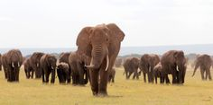 With Extinction Clock Ticking, White House Proposes New Elephant Protections