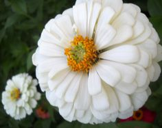 1oz – 3,200+ Seeds 4oz – 13,000+ Seeds Zinnia (Zinnia Elegans Lilliput White) - This popular little annual is well-known for it outstanding performance in the summer flower border! It readily establis