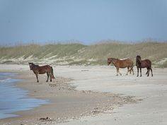Shackleford Island Wild Horses | Wild horses often emerge from the interior dunes of Shackleford Banks ...