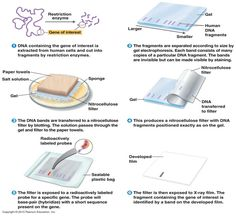 Southern blotting: Principle, Procedure and Applications