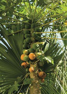 Paw Paw Paradise - The Bermudian