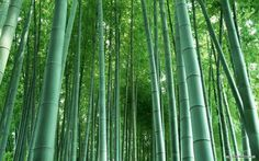 """Bamboo garden. Prune back to the ground old, dull culms every year. (Culms are the upright """"blades"""" of bamboo.) Some gardeners prefer to prune off any branches that extend horizontally, so that all culms run vertically straight up for a graphic and striking effect. If you have culms flopping over, they probably require more water, less feritlizer. You can prune back the height to help them recover, or just prune them down altogether."""