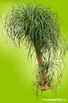 Separate the offsets to #propagate Pony Tail Palm #houseplants