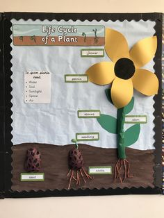 Life cycle of a flower display year 1 labelled - Modern Class Displays, School Displays, Classroom Displays, Year 1 Classroom, Ks1 Classroom, Sunflower Life Cycle, Science Display, Life Cycle Craft, Plant Crafts