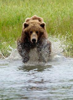 Coastal Brown Bear in Katmai National Park.
