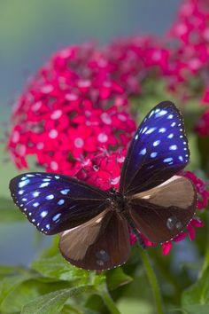 Striped Blue Crow Butterfly (Euploea mulciber)