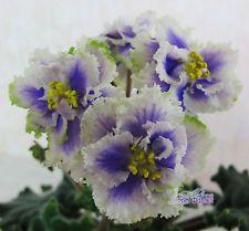 African Violet - LE - Losha - Plant - Russian / Ukrainian Variety!