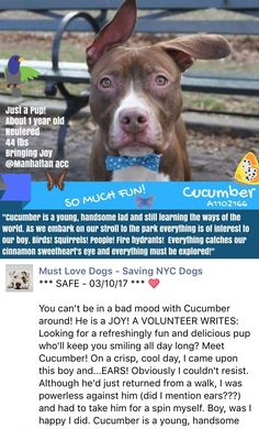 HAPPYDANCE ❤️❤️ SAFE❤️❤️ 3/10/17 PLEASE TREASURE AND LOVE THIS DIAMOND FOREVER❤️❤️/ij2/23/17 FOSTER ENDED - BACK IN SUPER URGENT!!Manhattan Center My name is CUCUMBER. My Animal ID # is A1102166. I am a neutered male brown and white pit bull mix. The shelter thinks I am about 1 YEAR 1 MONTH old. I came in the shelter as a STRAY on 01/24/2017 from NY 11433, owner surrender reason stated was STRAY. http://nycdogs.urgentpodr.org/cucumber-a1102166/