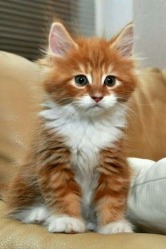 Yellow & white fluffy kitten