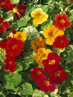 Tropaeolum majus Alaska Series    A very easy-to-grow annual for sunny and shady positions. The leaves and flowers of nasturtiums are edible and both look and taste good in salads. Collect the large caperlike seeds in late summer and store in a cool, dry place for sowing the following spring.  Height: 3-10 feet  Spread: 5-15 feet  Hardiness: Plants that need protection from frost over winter  Soil Preference: Well-drained soil, moist soil  Sun or Shade: Full sun  Award-winning plant