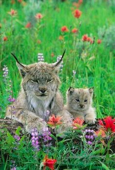Mother lynx and baby