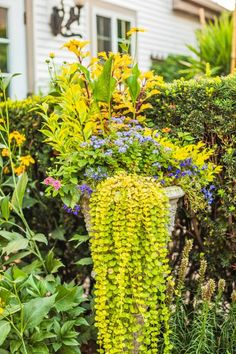 Green, yellow and blue create a soothing scheme in this garden urn