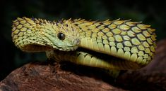 Atheris hispida is a venomous viper species endemic to Central Africa. It is known for its extremely keeled dorsal scales that give it a bristly appearance.