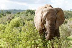 Elephant eating away on the spekboom  Elephant eating away on the spekboom in the field.