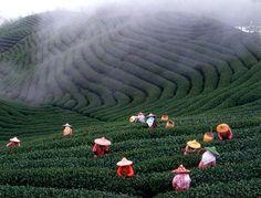 Tea levelek szüretelése...