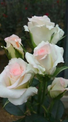 white roses, lovely soft pink at the center