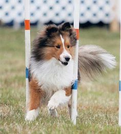 I'm a Shetland Sheepdog aka Sheltie breeder myself so of course this breed belongs on this list!