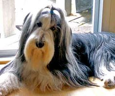 Bearded collie photo | Bearded Collies (2010) | No Shave November: A Salute to History's ...