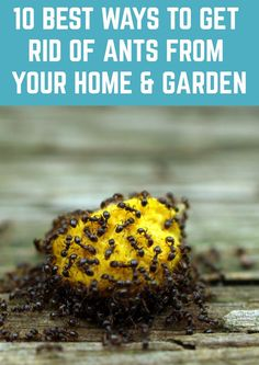 10 Most Effective Ways To Get Rid Of Ants From Your Home & Garden - There's nothing like an ant invasion to ruin your day. Here's how to get rid of them once and f - Ant Killer Recipe, Homemade Ant Killer, Ant Traps Homemade, Lawn And Garden, Home And Garden, Ants In Garden, Ant Spray, Diy Pest Control, Mosquito Control
