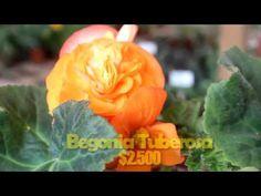 Begonias Tuberosas y Tenellas en Vivero Marilillium Ofertas de Temporada Constitución #221 - YouTube