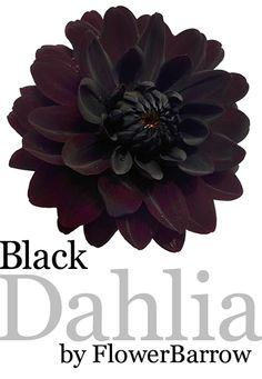 Black Dahlia from Flower Barrow by Paul Stickland  A zazzle store full of black dahlia invitations, black dahlia prints, gorgeous deepest purple black phone cases. Gothic wedding invitations. Use as a template for your own custom stationery. #dahlias #gothic #flowerbarrow