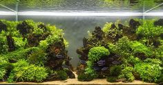 My tank : IAPLC rank 504 #aquascape #aquascaper #tank #iaplc #ada #amano…