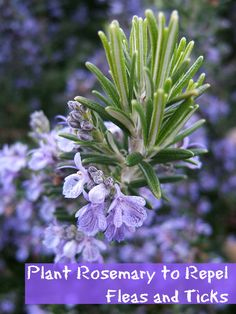 Rosemary ( Rosmarinus officinalis ) photo credit Rosemary joins basil , oregano , mint and other kitchen herbs in the mint family (Lam. Growing Rosemary, Garden, Herb Garden In Kitchen, Repellent, Herb Garden, Perennials, Plants, Sun Loving Plants, Gardening Tips