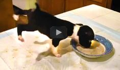 FUNNY VIDEO OF PUPPY EATING IN A WEIRD WAY. I've seen a lot of dogs eating and this puppy takes the cake for strangest method ever Hilarious!
