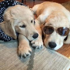 Tag your best friend #welovegoldens  by goldenretrievers_