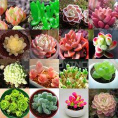 160-seeds-16-kinds-variety-mix-rare-Echeveria-seed-pot-plant-succulent-Cactus