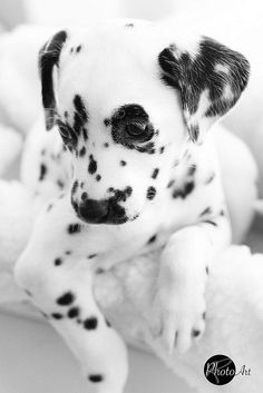 Terrific No Cost dogs and puppies dalmatian Thoughts : Doggy break up anxiety, especially in puppies, is a very common dilemma that impacts many dog masters around the world in addition to, if left unatten. Animals And Pets, Baby Animals, Funny Animals, Cute Animals, Baby Elephants, Pet Dogs, Dog Cat, Doggies, Pet Pet