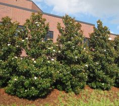 Bracken Brown Beauty Magnolia magnolia grandiflora 'brackens brown beauty' The Bracken Brown Beauty has the widest hardiness range given to any Magnolia grandiflora cultivar being able to handle -20°F