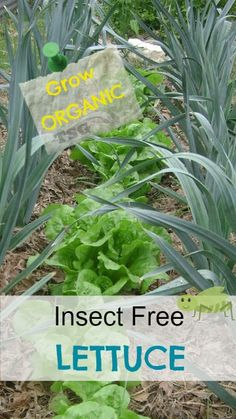 Grow The Best Organic Lettuce