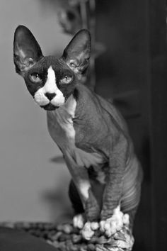 TRECE LOVES YOU! #sphynx #cat