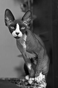 TRECE LOVES YOU! #sphynx #cat