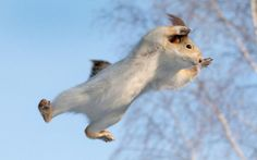 Superhero Squirrel: The fearless red squirrel was caught soaring through the air in an impressive display of aerial acrobatics, flying from tree-to-tree by photographer Andrey Chernyh