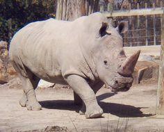 -African (black and white) rhinoceros: WhoZoo