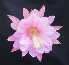 Epiphyllum CHIFFON
