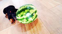 Water melon Rottie
