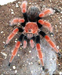 Mexican Fireleg/Rustleg Tarantula - Brachypelma boehmei Got one, but it's still a juvenile.