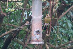 Yum Yum! #Greenfinch in my garden January 2016 www.pinterest.com/annbri/