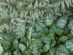 Athyrium with Pulmonaria | by KarlGercens.com GARDEN LECTURES