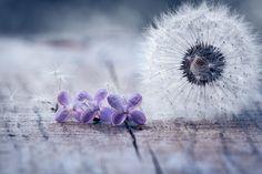 Dandelion & Lilac by Alla Vovk