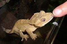 Gecko kisses