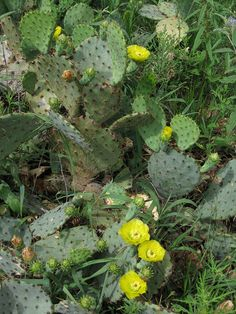 Merriwether's Guide to Edible Wild Plants of Texas and the Southwest: Prickly Pear Cactus Plant Pots, Succulent Terrarium, Planting Succulents, Plants Of The Southwest, Florida Plants, Outside Plants, Cactus Planta, Edible Wild Plants, Plant Aesthetic