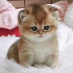 Baby Animals Super Cute, Cute Baby Cats, Cute Little Animals, Cute Cats And Kittens, Adorable Kittens, Orange Tabby Kittens, Ragamuffin Kittens, Super Cute Kittens, Ragdoll Kittens For Sale