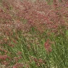 Melinis repens - Google Search Perennial Grasses, Perennials, Grass Type, Wild Flowers, Seeds, Exterior, Plants, Google Search, Places