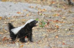 Crazy baby honey badger at Camp Linyanti - Africa Geographic Honey Badger, Lion Art, Wildlife Conservation, African Animals, Black Bear, Panda Bear, Cute Baby Animals, Beautiful Creatures, Mammals