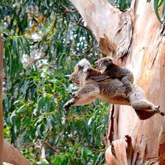 koala with baby joey. Puts a smile on my face:] Perth, Brisbane, Melbourne, Rare Animals, Animals And Pets, Koala Marsupial, Kangaroo Island, Wild Creatures, Australian Animals
