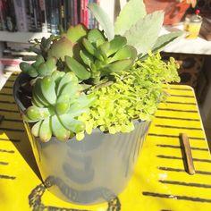 O vaso é cinza mas o dia iluminado! Ótima terça!  #oitominhocas #suculentas #suculovers #arranjodesuculentas #decoração #vaso #plantinhas
